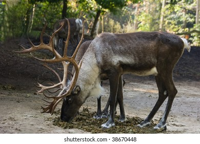 Finnish Forest Reindeers eating dried leaves with colors of autumn in background