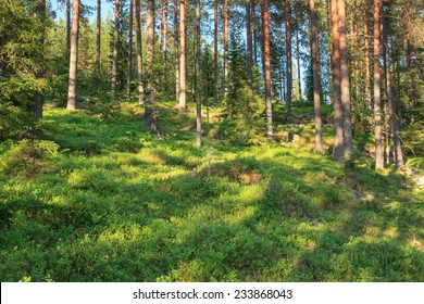 Finnish forest at summer