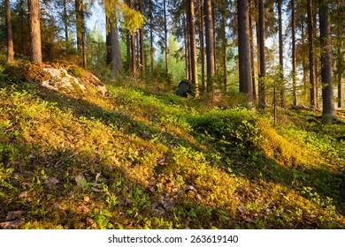 Finnish forest at sunset light