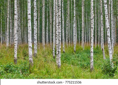 Finnish landscape with birch forest. Finland nature wilderness. Horizontal