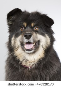 Finnish Lapphund dog portrait. Image taken in a studio.