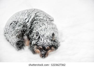 Finnish Lapphund sleeping in snowfall