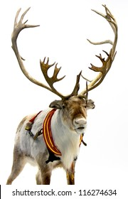 Finnish reindeer wearing traditional harness. Isolated on white background