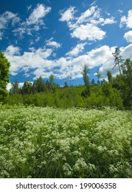 Finnish summer landscape with flowering cow parsley