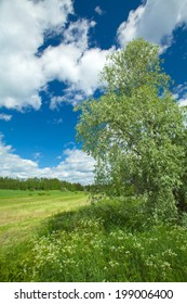 Finnish summer landscape with silver willow