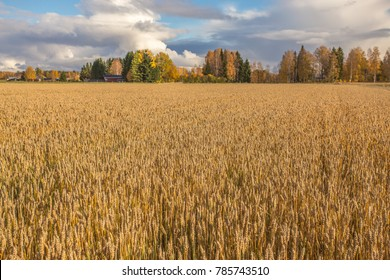 Finnish wheat field. Kajaani, Finland