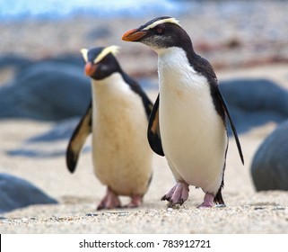 Fiordland crested penguins on the coast of New Zealand. These are among the rarest species of penguins on the planet. And among the cutest.