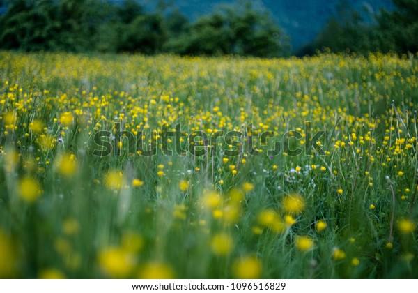 Fiori Gialli Foto.Fiori Gialli Campo Verde Stock Photo Edit Now 1096516829