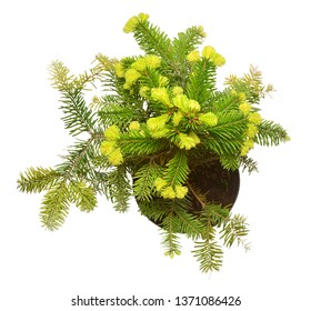 Fir abies nordmanniana aurea in a pot isolated on white background. Coniferous trees. Christmas symbol. Flat lay, top view