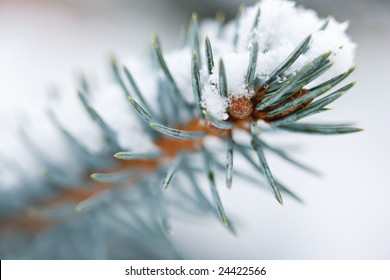Fir Blue Spruce in the snow close up of a branch