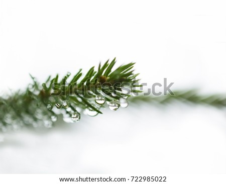 fir branch isolated on white with raindrops small depth of field and lots of free space for text