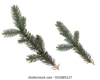 Fir branch on white background. green fir tree twig isolated on white background