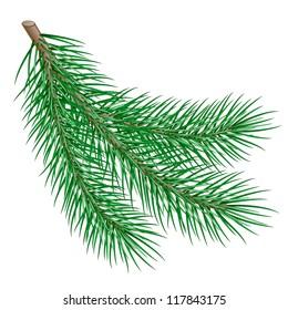 fir branch on white background.