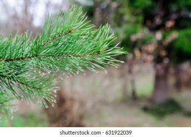 Fir branch with raindrops on a blurry phoneme
