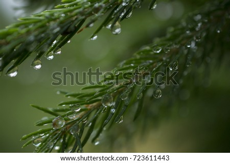 fir branch with raindrops small depth of field and lots of free space for text dark green background