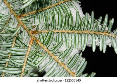 fir branch with snow, underside