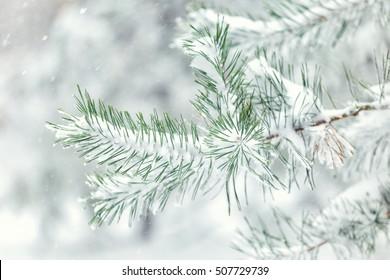 fir branch in winter forest close-up