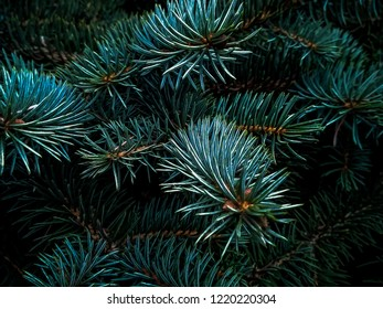 Fir branches blue spruce. Close up. Branches of blue spruce. Winter nature. Spruce needles. Fluffy Christmas tree. Blue spruce.