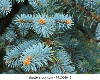 Fir branches blue spruce. Close up.