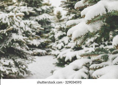Fir branches covered with snow