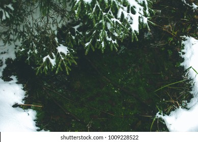 Fir branches and needles sprinkled with snow over green algae under clear water of mountain river in Carpathians, Ukraine