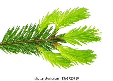 Fir branches on white background. Close-up young spruce shoots. Coniferous essential oil is used for medicinal purposes. Isolated on white.