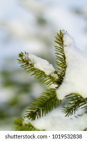 fir branches in the snow in the cold
