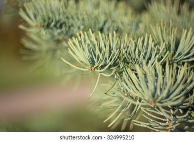 Fir cone with dew drops close up