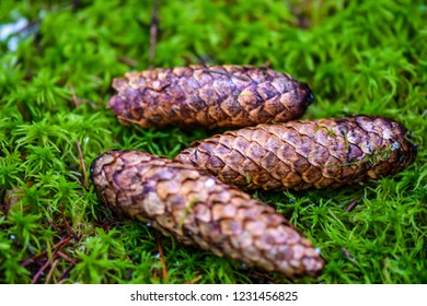 Fir cones on green moss. Three fir cones on green moss. Fir cones on green moss background. Fir cones green moss