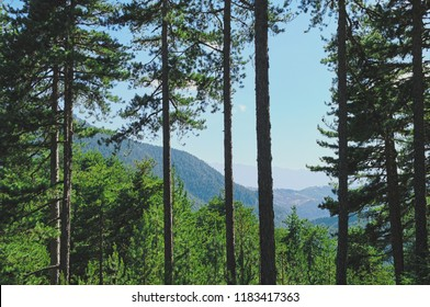 fir forest in Arcadia, Greece