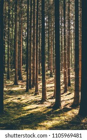 Fir forest and moss in summer light