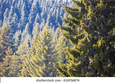 fir forest on the mountain
