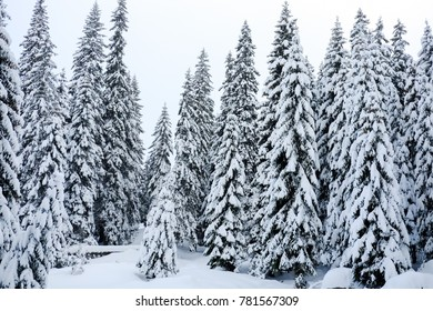 fir forest in the winter