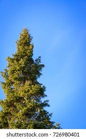 Fir on a blue sky background A sunny autumn day