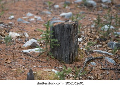 Fir sprout near the stump