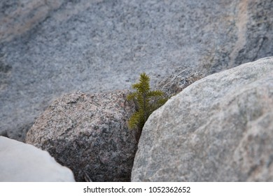 Fir sprout on the stone