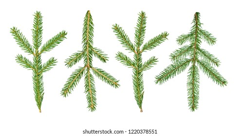 A fir tree (Abies sibirica) branch is isolated on a white background