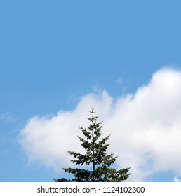 Fir, the tree with blue sky and white clouds