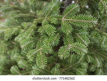Fir Tree Branch
