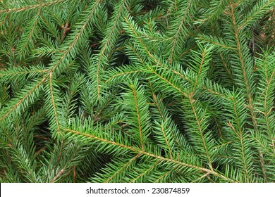 Fir tree branch background close up