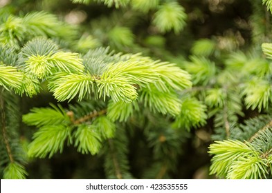 Fir tree branch background close up.
