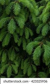 Fir tree branch background. Fluffy young branch Christmas tree, vertical, close up