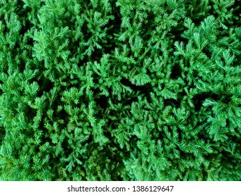 Fir tree branch close up pattern background. Conifer fir tree texture in green winter forest. Coniferous evergreen spruce fir tree closeup background. Green fresh spruce twigs decorative background