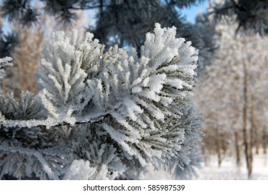 Fir tree branch covered with snow and frost