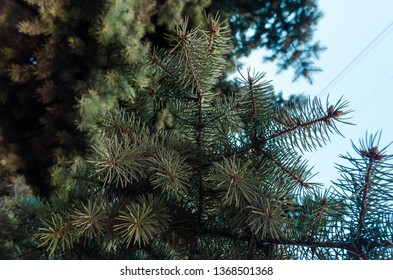 fir tree branch texture background. Green tree in the summer forest with copy space.