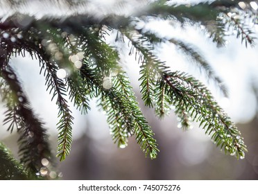 Fir tree branches wet after the rain. Raindrops on the needles. Close-up.