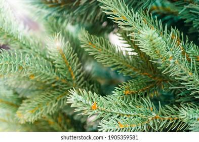 Fir tree brunch close up. Christmas wallpaper concept.