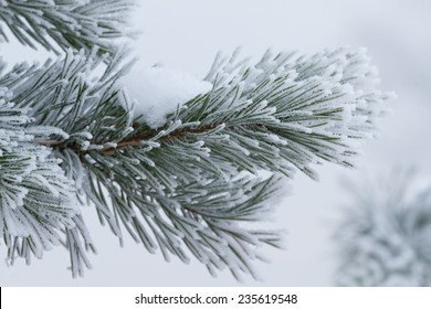 Fir tree is covered by ice in winter