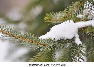 Fir tree covered with snow, Fir branch with snow, symbol of winter