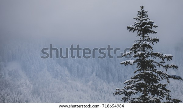 A fir tree with fresh snow on its branches in Innsbruck, Austria.